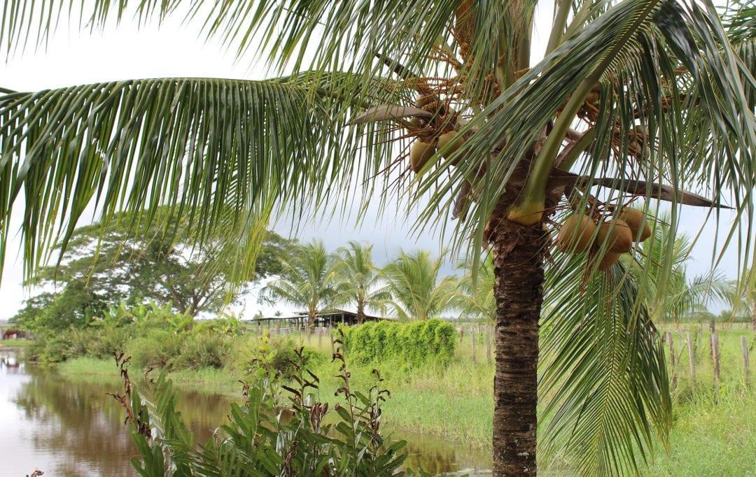 vakantie suriname palmboom